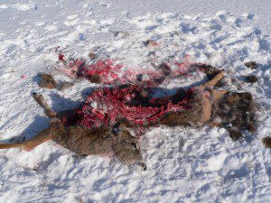 Lobo Minnesota slaughtered deer, at the average rate of one every three days, for 11 years. Often, he killed for apparently no reason. (NPS photo)
