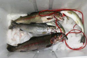 trout-in-cooler-c1