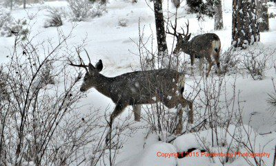 buck deer in snow