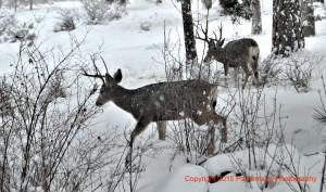 buck deer in snow