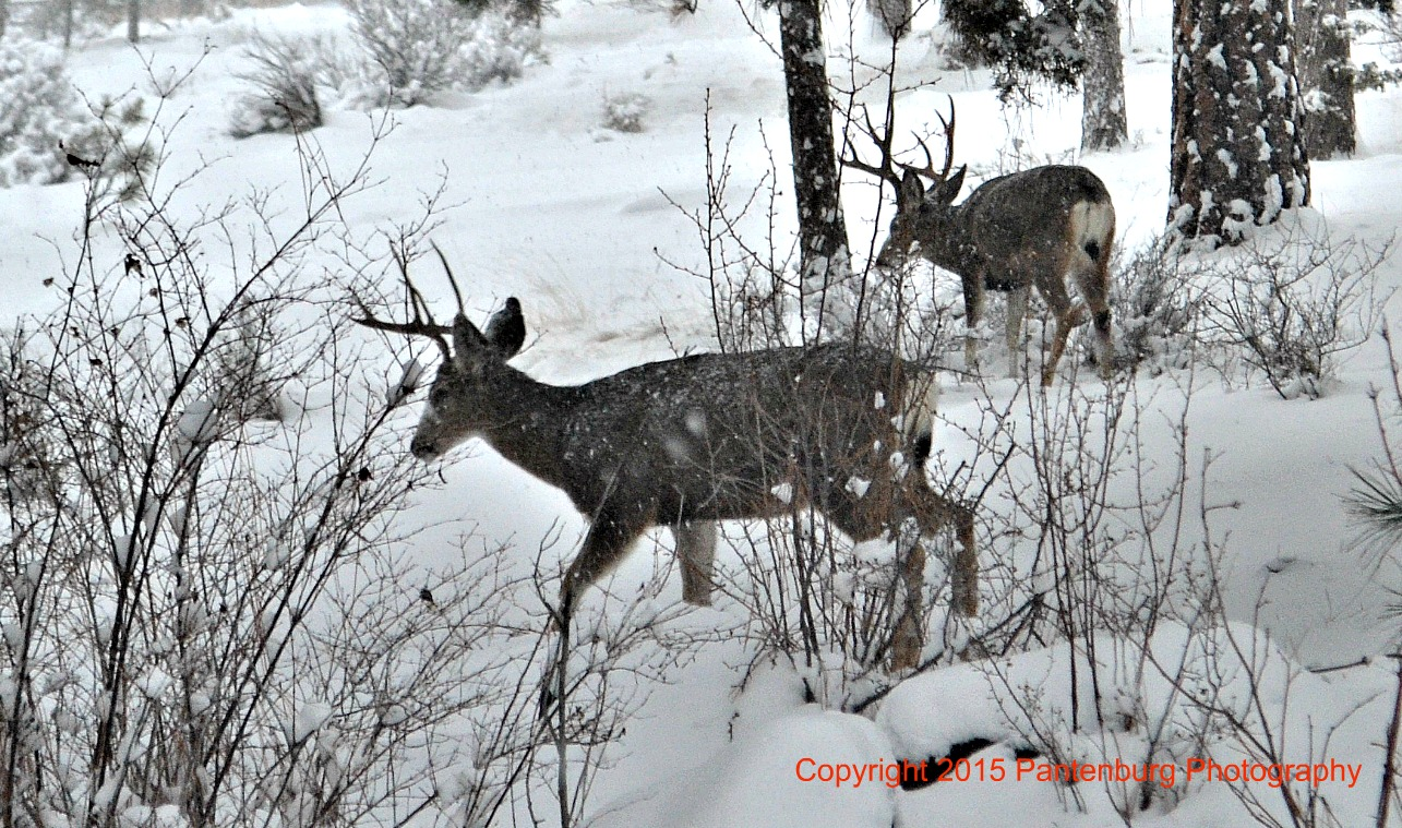 Mule deer bucks forage through the snow.