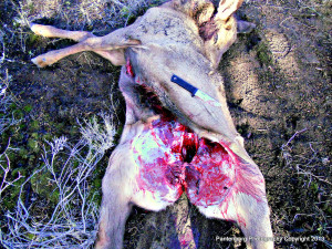 The right knife can make all the difference when handling a downed big game animal.