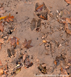 Look for animal tracks and poop to tell if your proposed campsite might be on a game trail.