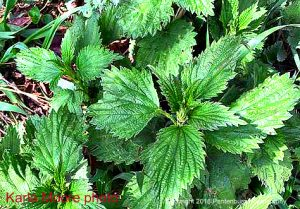 Stinging nettles are come of the first herbs to come up in the spring. They have many uses.