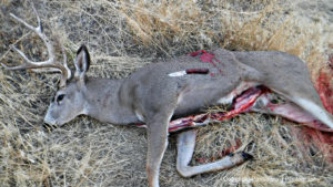 The Cross Knives Lil Whitetail worked well for field dressing this mule deer buck.