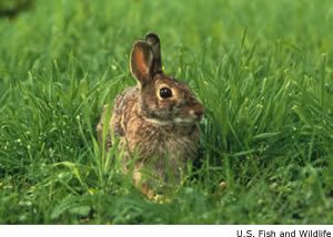 Cottontail rabbits are prolific andare widely distributed throughout the United States. (U.S. Fish and Wildlife photo)