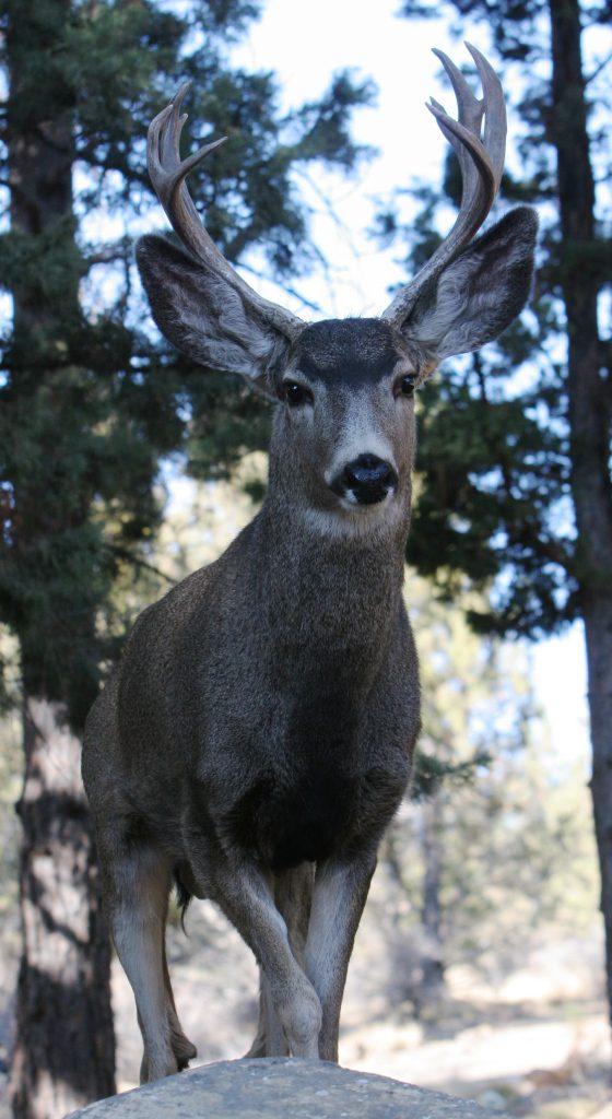 A major benefit of deer and elk hunting is the superb meat. (Pantenburg photo)