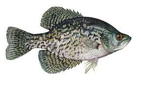 Crappie are a prolific panfish, widely distributed and fun to catch and eat! (ODFW photo)