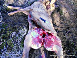 gutted elk