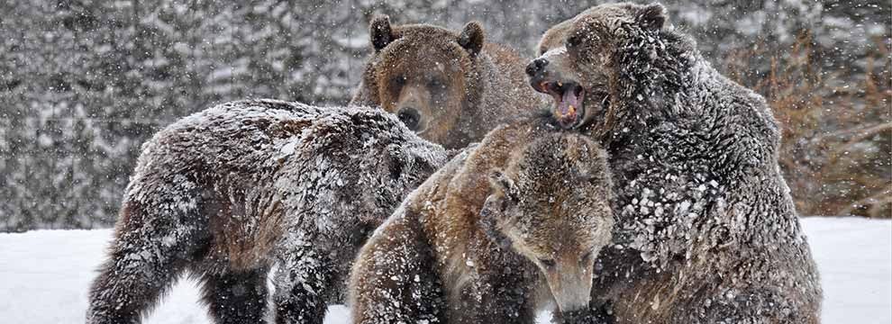 Bear spray has proven to be more effective than firearms for repelling bears.