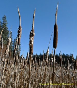 All parts of a cattail are edible, but don't mistake them for the poisonous iris.