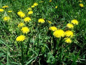 medicinal plants, good weeds, eat the weeds