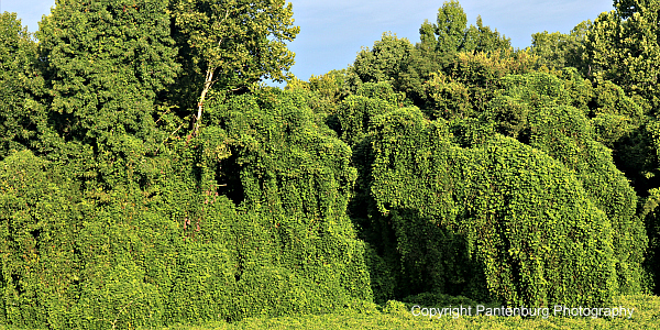 try-kudzu-an-edible-plentiful-weed-with-medicinal-value